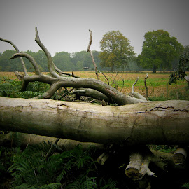 Fallen Beech by Tamsin Carlisle - Nature Up Close Trees & Bushes ( field, timber, england, wood, tree, remains, logs, fallen, beeth,  )