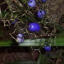 Dianella berries