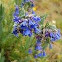 Alpine Mertensia