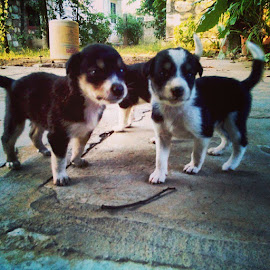 by Akshay Singh - Animals - Dogs Puppies ( Dogs, dog, love, puppies )