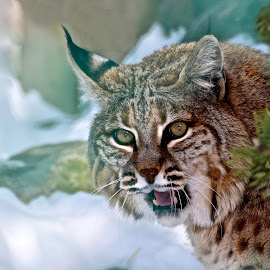 From the Mist by Betty Arnold - Animals Other Mammals ( bobcat, animals, nature, wildcat, wildlife,  )