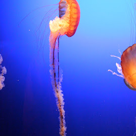 Long Jelly by Megan Grunke - Animals Sea Creatures ( omaha zoo, aquarium, jellyfish,  )