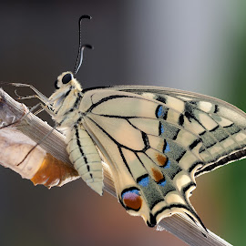 Swallow tail by Simone Conti - Animals Insects & Spiders ( butterfly, macro, nature, cocoon, swallowtail )