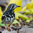 Ashy Ground Thrush