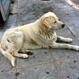 Street Dog II, Athens, Greece by Jane Spencer - Animals - Dogs Portraits ( greece, street, athens, stray, dog )