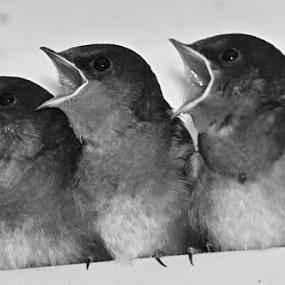 Do Re Mi by Kamila Romanowska - Black & White Animals ( bird, nature, australia, wildlife, swallow, cute, chicks, sydney )