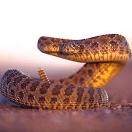 Punctuated by Bon Zeye - Animals Reptiles ( snake, scales, rattlesnake, deadly, reptile, rattle, cold blooded )