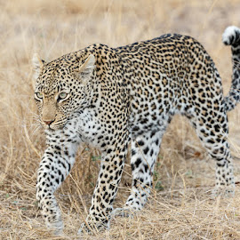 Leopard by Jan Fourie - Animals Lions, Tigers & Big Cats