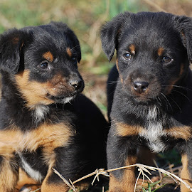 Two little puppies by Ivan Marjanovic - Animals - Dogs Puppies ( horizontal, paw, several, puppy, cute, dog, together, animal )