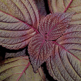 Purple Plant by Peggy LaFlesh - Nature Up Close Other plants ( purple, garden )