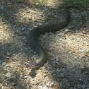 Cottonmouth (Water Moccasin)