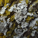 Hammered Shield Lichen