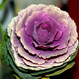 Ornamental cabbage by Biljana Nikolic - Nature Up Close Other plants
