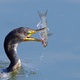 by Herb Houghton - Animals Birds ( wild, cormorant, fish, double crested cormorant, natural, non captive, diving, channel catfish )
