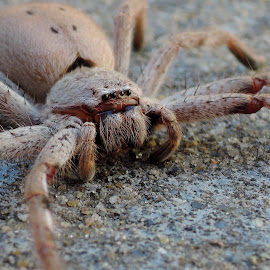 spider-huntsman by Krys Fenz - Novices Only Macro ( 3inch spider, huntsman spider, no webs, spider, but they run fast, these like living with people )