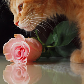 Be my Valentine by Christine Schmidt - Animals - Cats Portraits ( rose, cat, kitten, maine coon )