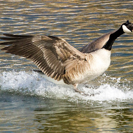 Goose Down? by Darleen Stry - Animals Birds ( water, bird, environment, canada, nature, fly, creek, land, travel, feathers, goose )