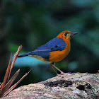 Orange Headed Thrush