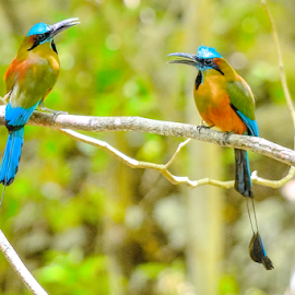 Motmot x 2 by Alan Potter - Animals Birds
