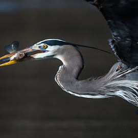 Great Blue with Fish by Mike Watts - Animals Birds ( great blue heron, bird, fish, heron )