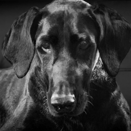 Black on Black by Petra Bensted - Animals - Dogs Portraits ( low key, pet, dog, doberman, black, asha )