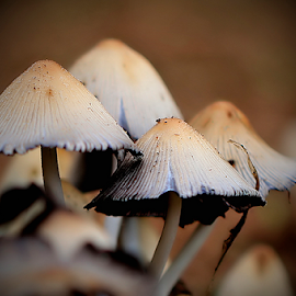 Capped by Mari du Preez - Nature Up Close Mushrooms & Fungi ( macro, fungi, cap, nature up close, brown, mushrooms )