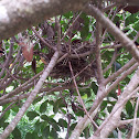 Eastern mourning Dove nest