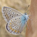 Common Blue - Hauhechel-Bläuling
