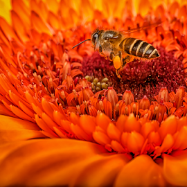Working Time by KIN WAH WONG - Animals Insects & Spiders ( working time, macros, pollen, nature, micro, hard working, busy, collect pollen, flower, honey bee )