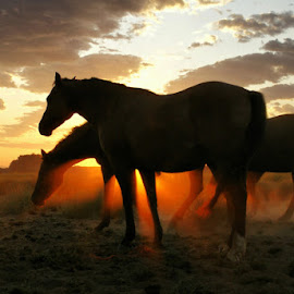 Horses at sunup by Gaylord Mink - Animals Horses ( clouds, sunrp, grazing, horses, sunrise,  )