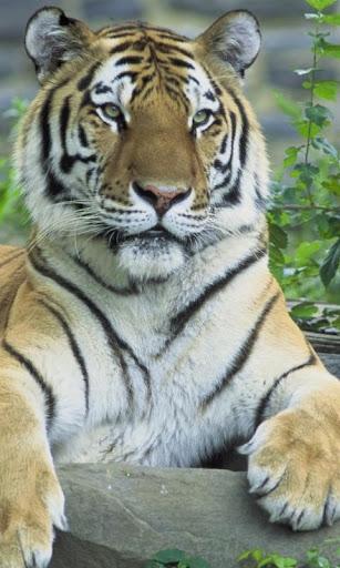 Tiger HD LWP Lite