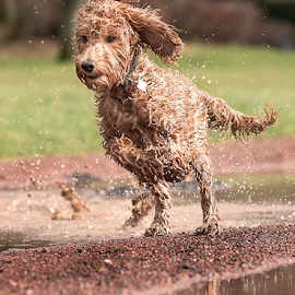 Let's go  by Michael  M Sweeney - Animals - Dogs Running ( labradoodle, play, michael m sweeney, run, dog )