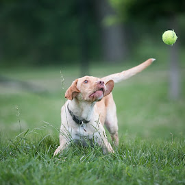 Fly Ball by Peter Marzano - Animals - Dogs Playing