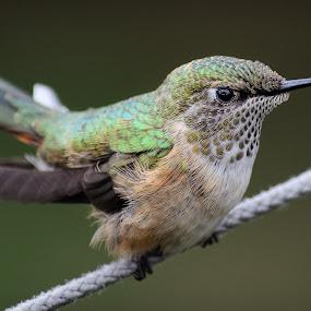 Hummingbird at Rest by Rick W - Animals Birds ( bird, nature, hummingbird, nature up close, closeup )