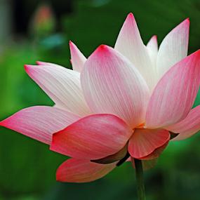 Pink Beauty by Steven De Siow - Flowers Single Flower ( pink flower, lotus, nature, pink, lotus flower )