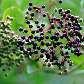 Elderberries by Andrew Robinson - Nature Up Close Gardens & Produce ( elderberries )