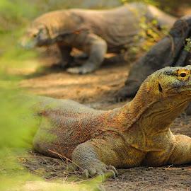 Komodo by Ibnu Sina - Animals Reptiles