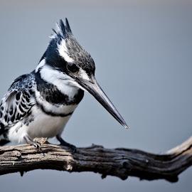 The King by Shaun Norton - Animals Birds ( pied, kingfisher, wildlife, pied kingfisher, birds )