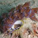 Blue Dragon nudibranch laying eggs
