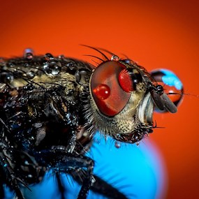 House Fly # 6 by Dave Lerio - Animals Insects & Spiders (  )