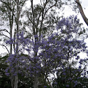 Possibly Blue Jacaranda