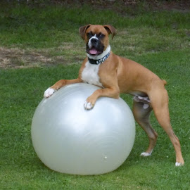 boxer and big ball by Joann Jarrett Brasington - Animals - Dogs Playing ( canine, playing, ball, boxer dog, outside,  )