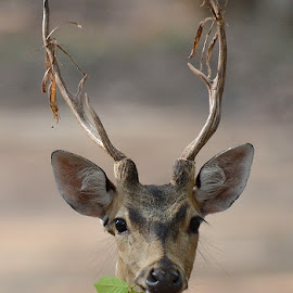 Paused ... by Vinod Acharekar - Animals Other Mammals ( looking, eating, wildlife, portrait, deer )