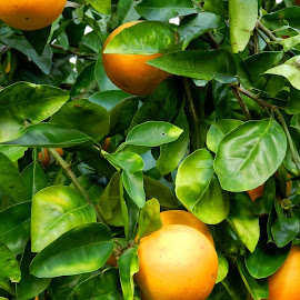 Florida Oranges by Kathy Rose Willis - Nature Up Close Gardens & Produce ( frit, orange, citrus, florida, green, oranges, leaves )