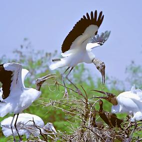Nest Envy by Rita Colantonio - Animals Birds ( bird, flight, fly, florida wetlands, nesting bird, woodstorks, birds )
