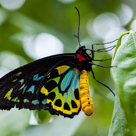 Cairns Birdwing butterfly by David Whelan - Animals Other ( cairns birdwing butterfly )