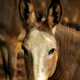 The Look by Roy Walter - Animals Horses ( mule, horse, portrait, mammal, animal )