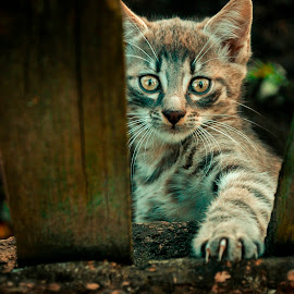 Oh, those eyes by Тарас Маркін - Animals - Cats Kittens ( face, fence, cat, litte, street, paw, nice, viev, claws, posing, eyes, , colorful, mood factory, vibrant, happiness, January, moods, emotions, inspiration )