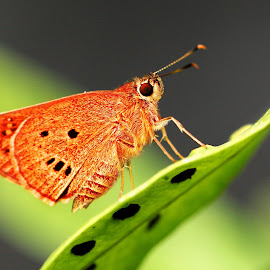 alone by Ray Alexander - Animals Insects & Spiders ( butterfly, red brown, leaf, young, alone )