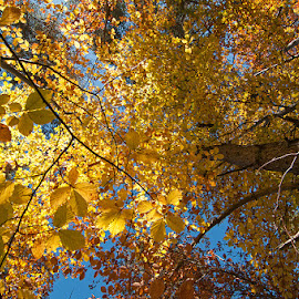 Advent of yellow by George Petridis - Nature Up Close Trees & Bushes ( autumn, colors, trees, forest, october, yellow, light, fall, color, colorful, nature )